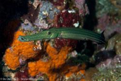 BD-130331-Tulamben-8564-Aulostomus-chinensis-(Linnaeus.-1766)-[Chinese-trumpetfish].jpg
